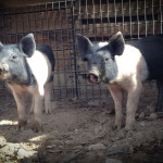 These pigs have names: Porkchop and Ham.